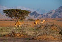 Oman-Kamele
